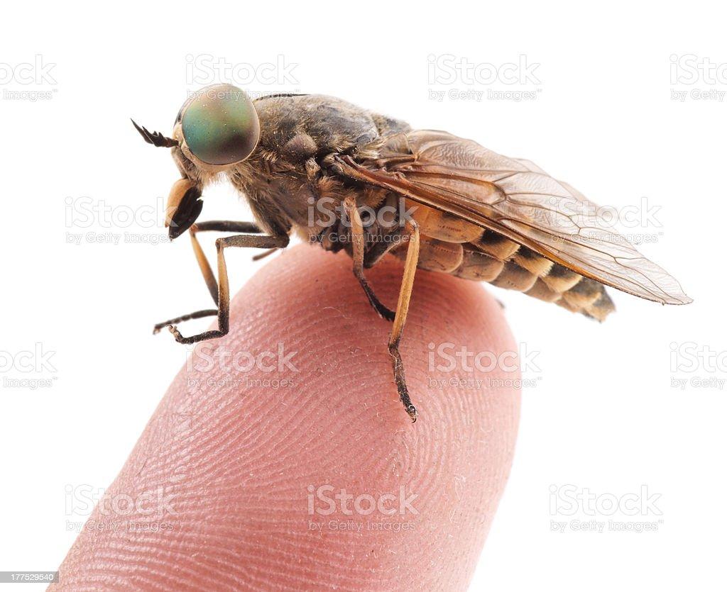 Live horsefly sitting on finger isolated stock photo