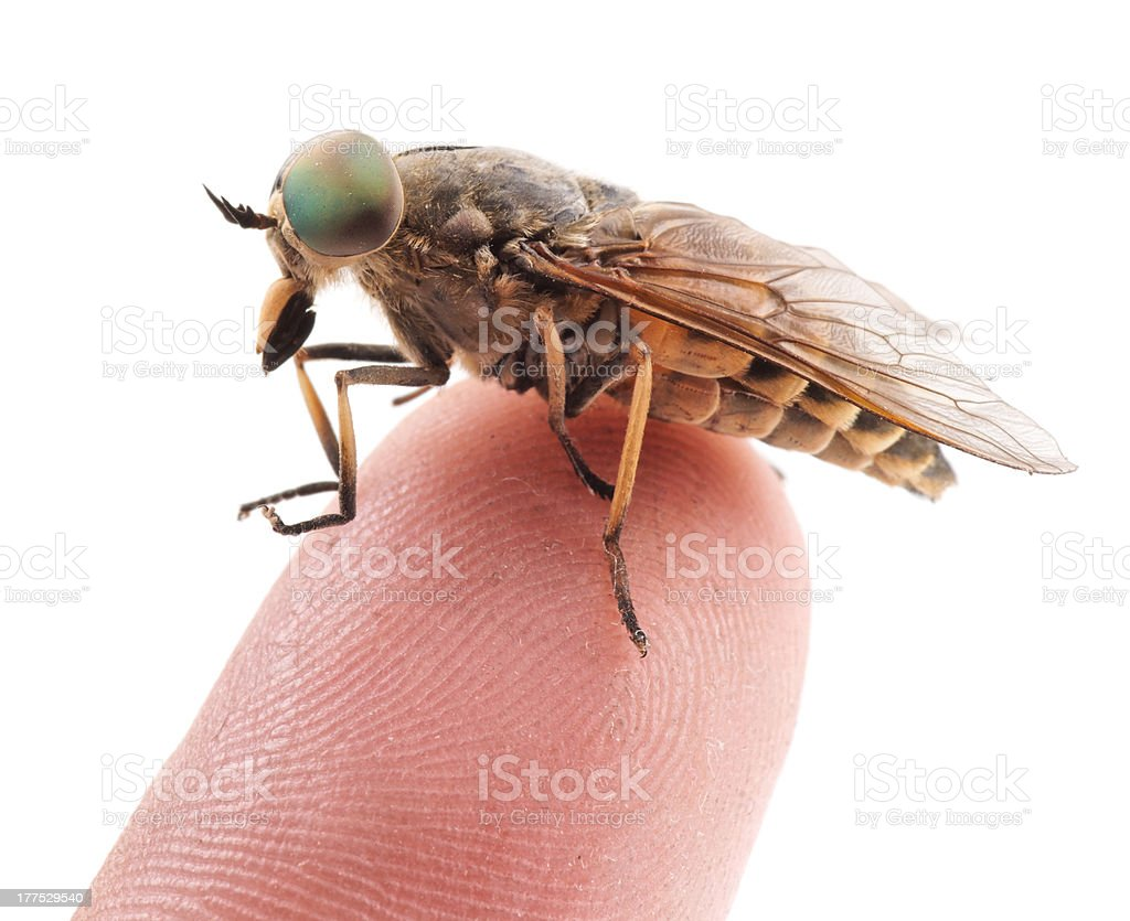 Live horsefly sitting on finger isolated stock photo