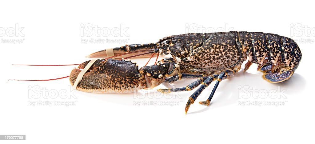 Live Lobster with clipping path stock photo