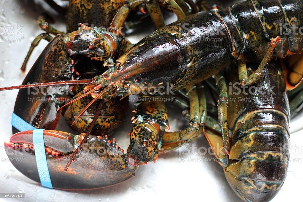 Live Maine Lobster Close-up stock photo
