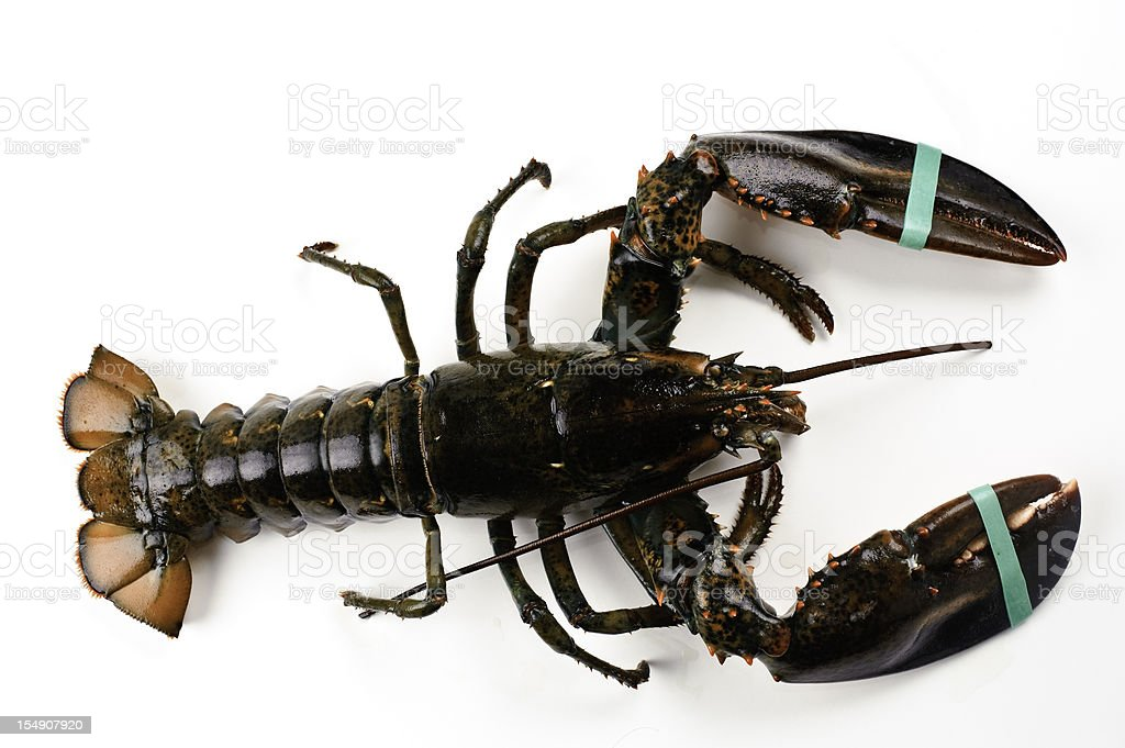 Live Maine Lobster royalty-free stock photo