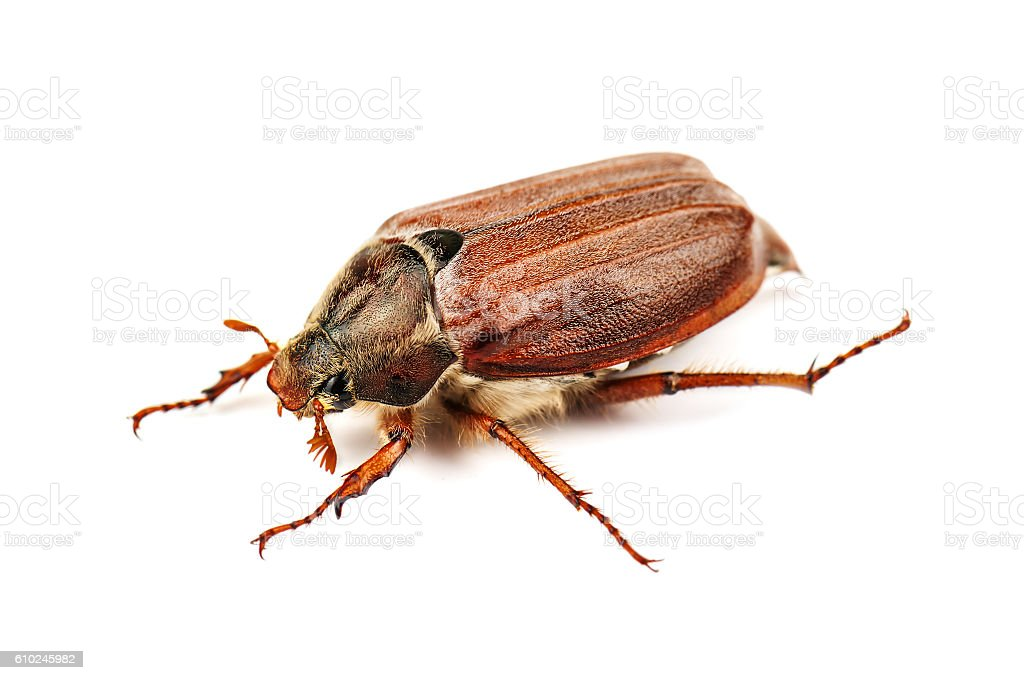 live may bug (chafer) stock photo