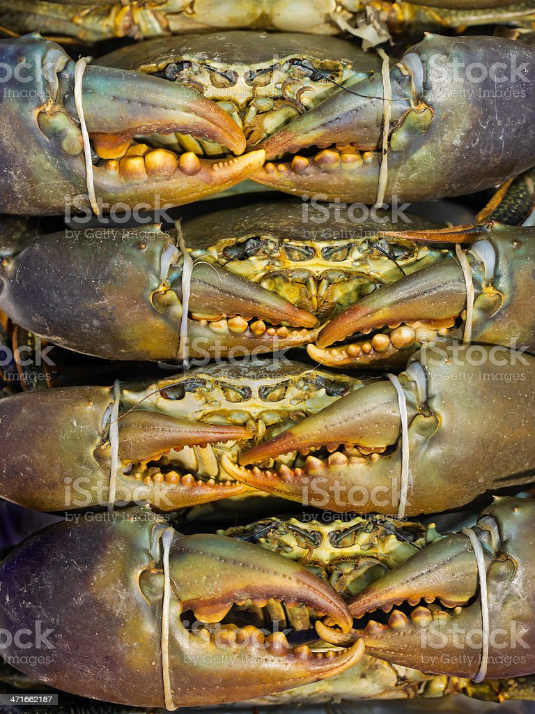 Live Mud Crabs stock photo