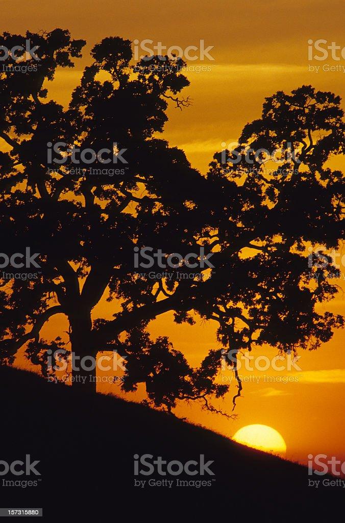 Live oak and sunset, California royalty-free stock photo