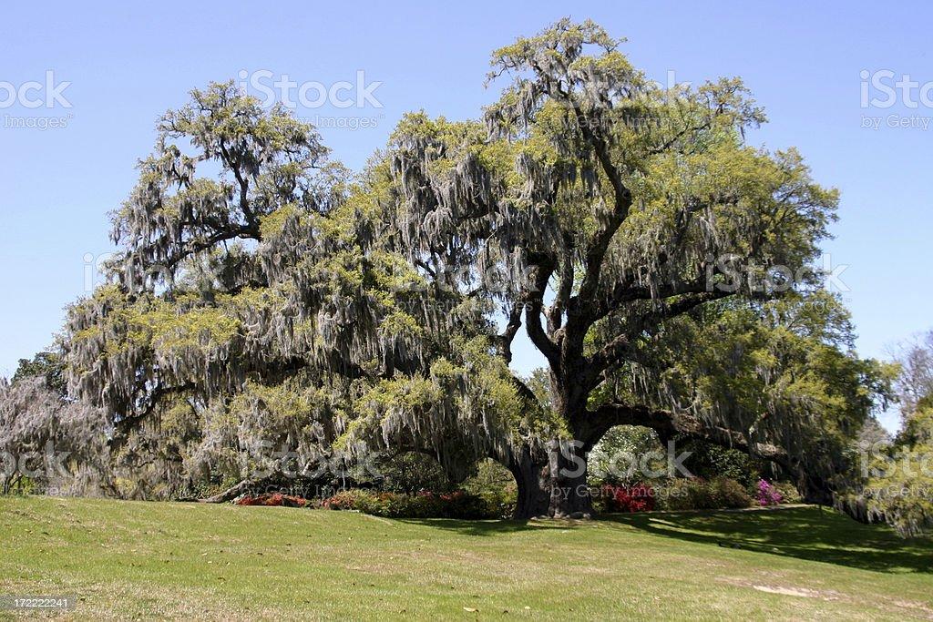 Live Oak in Garden stock photo