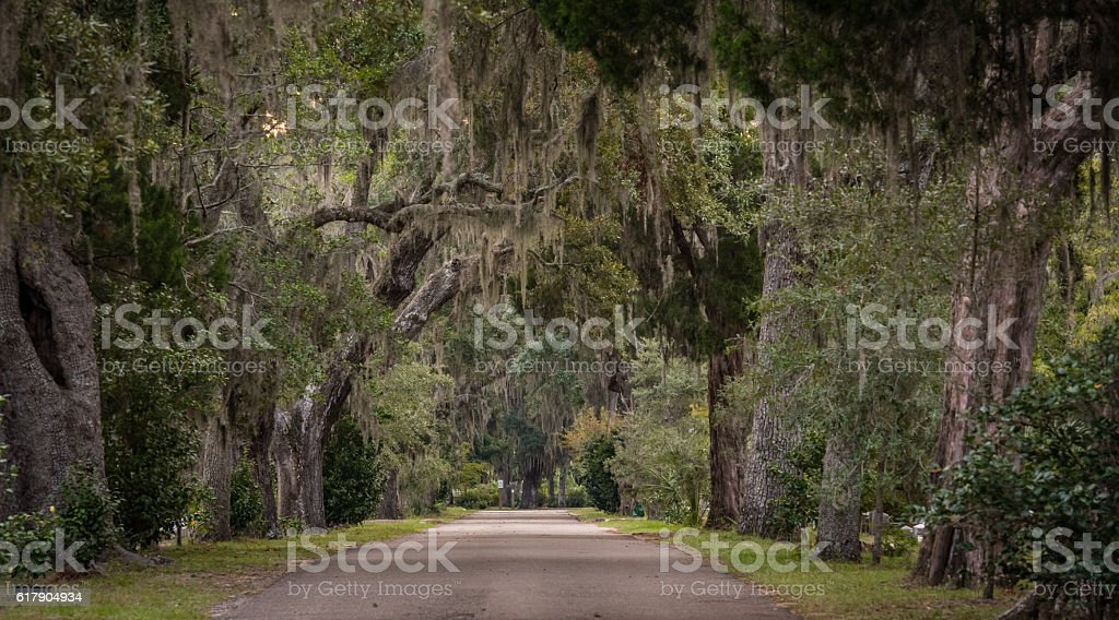 Live Oak over One Lane Road stock photo
