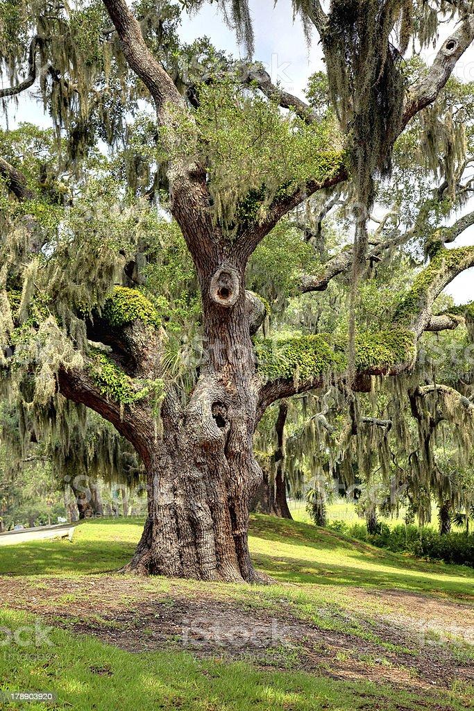 Live Oak & Spanish Moss royalty-free stock photo