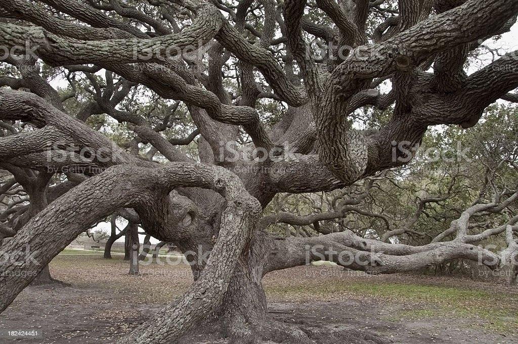 Live Oak Tree Limbs royalty-free stock photo