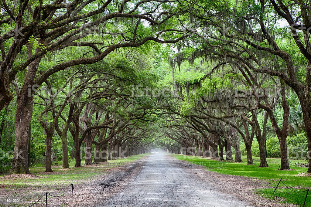 Live Oak Tree Lined Road stock photo
