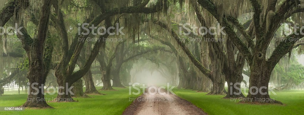 Live Oak Tree Tunnel Southern Plantation Entrance Charleston South Carolina stock photo