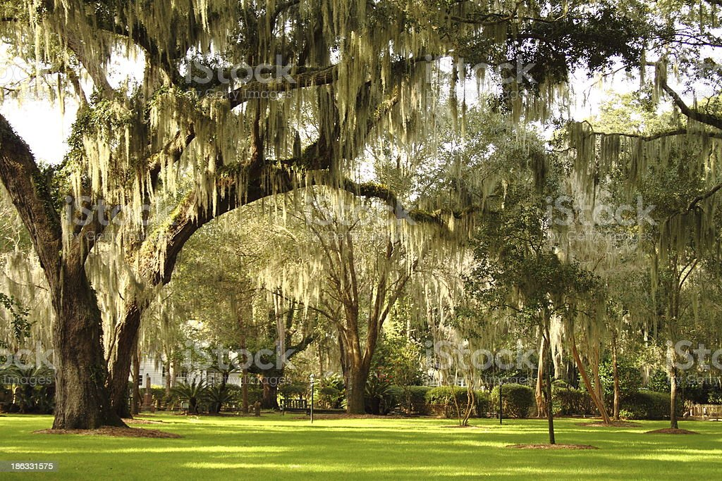 Live Oak Trees and Spanish Moss stock photo