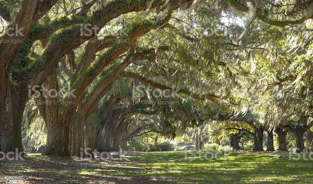 Live Oak trees forest stock photo