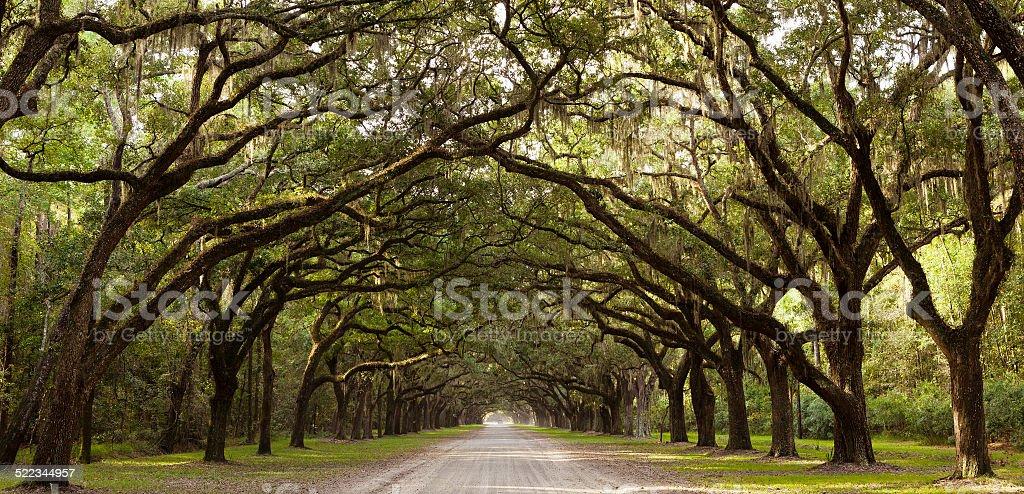 Live Oak Trees From Georgia, USA stock photo