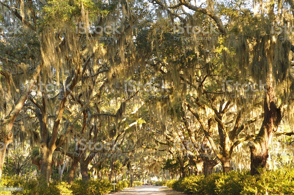 Live oak trees over driveway stock photo