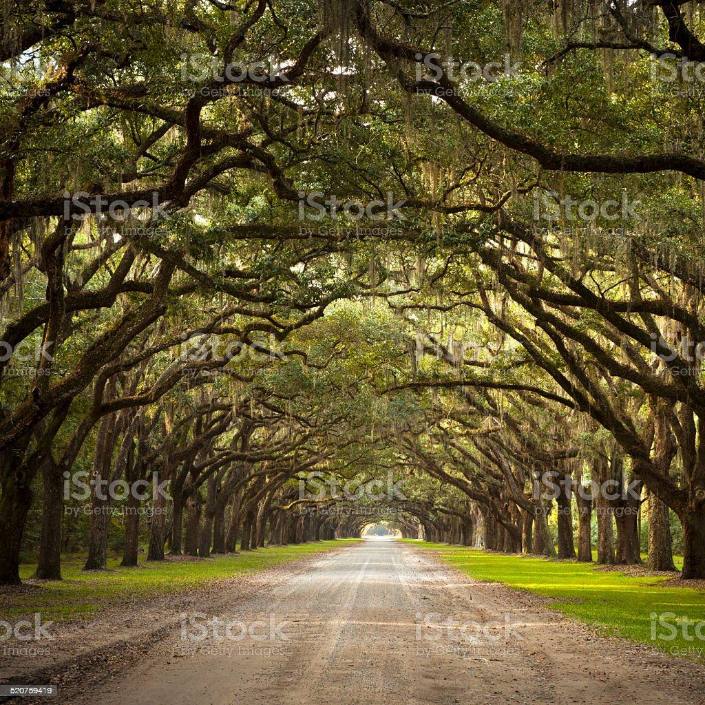 Live Oak Trees stock photo