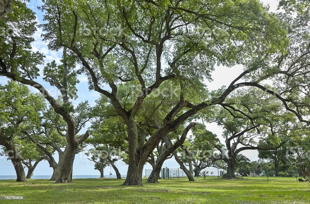 Live Oak Trees with Sprawling Branches Along the Gulf Coast stock photo
