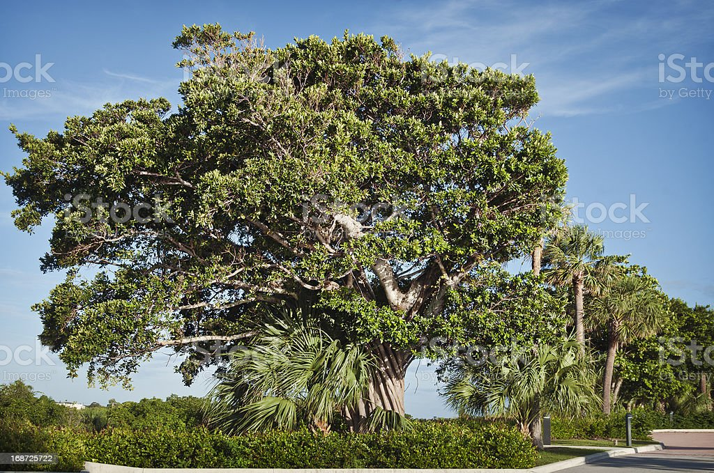 Live oak with strangler fig royalty-free stock photo