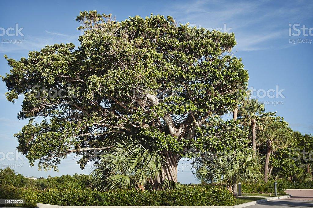 Live oak with strangler fig stock photo