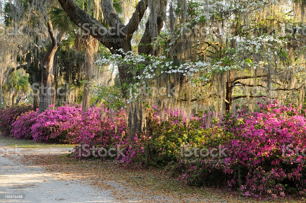 Live Oaks, Flowering Dogwood and Azaleas with Spanish Moss stock photo