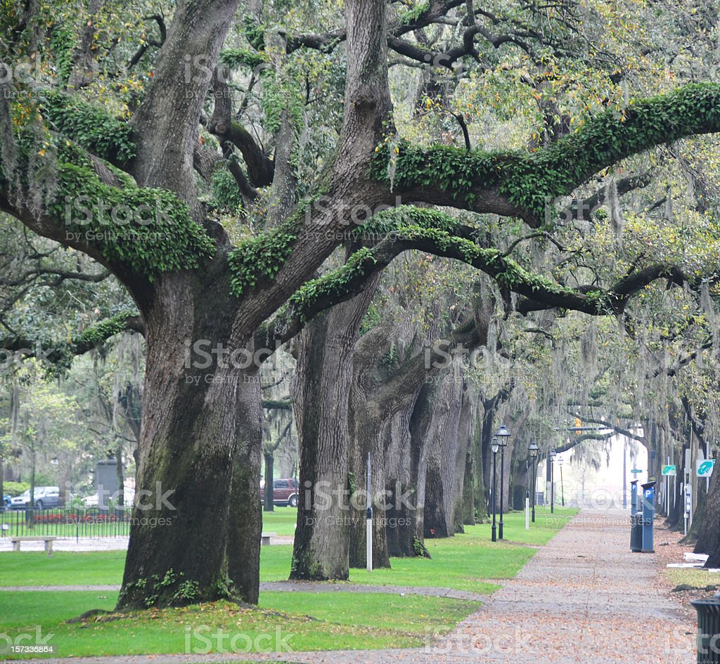 Live Oaks in Savannah stock photo