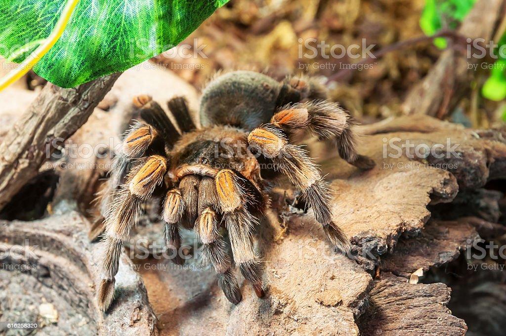 live redknee tarantula stock photo