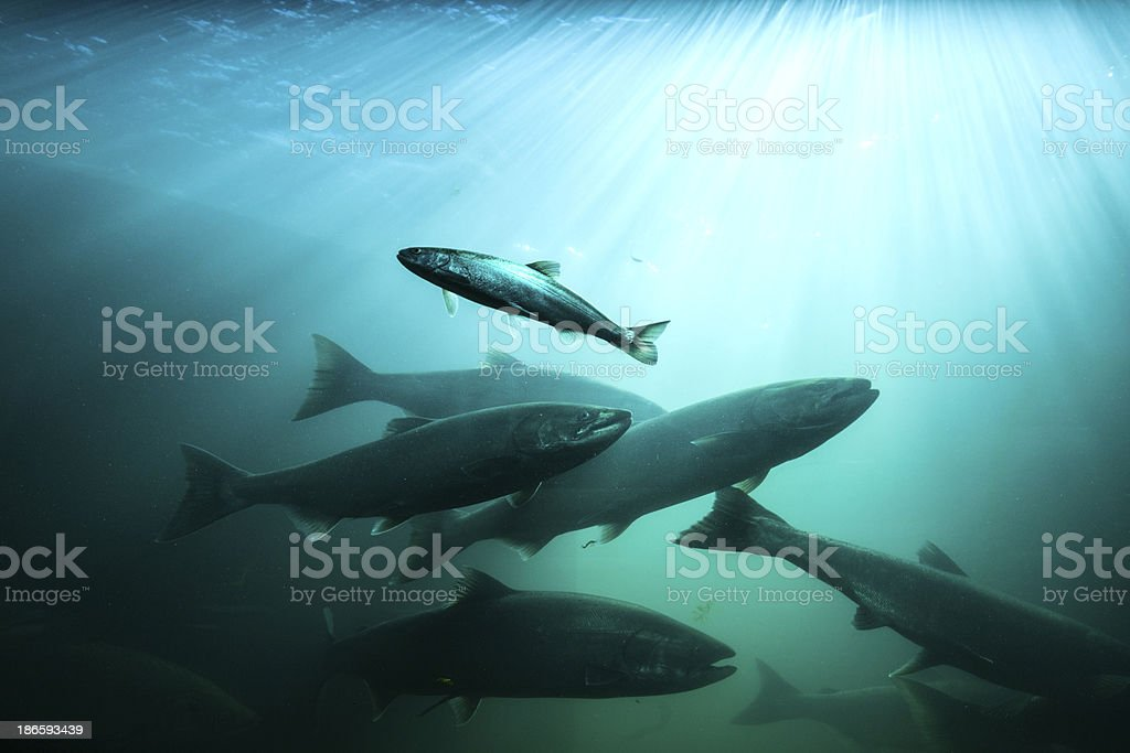 Live Salmon River. stock photo