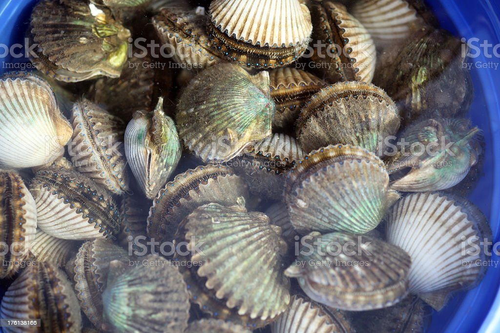 Live Scallops in Water Bucket royalty-free stock photo