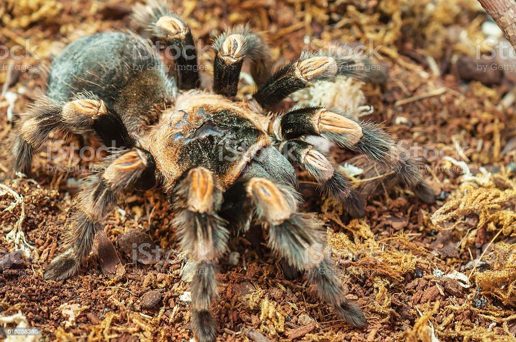 live spider (tarantula) stock photo