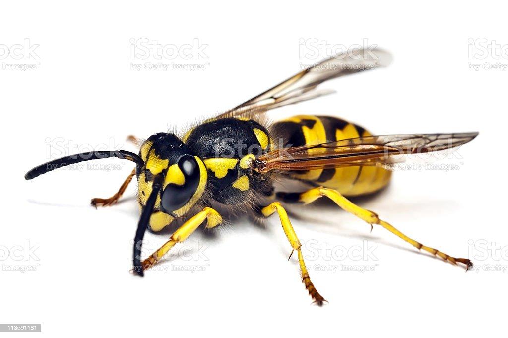 Live wasp isolated on white background stock photo