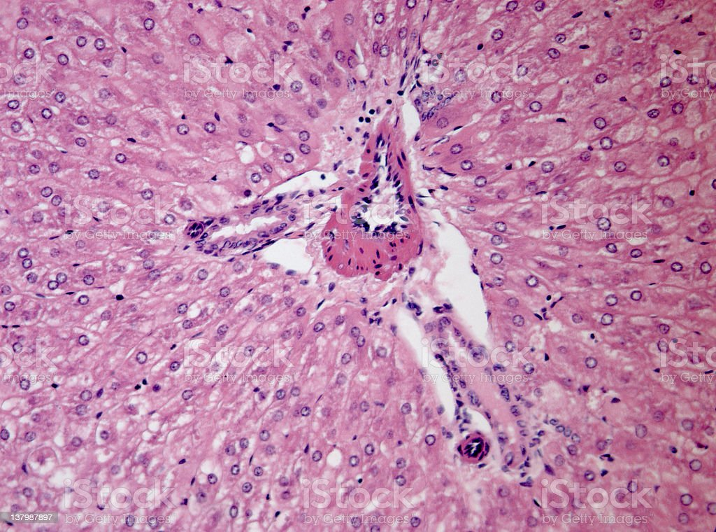 Liver Tissue Section royalty-free stock photo