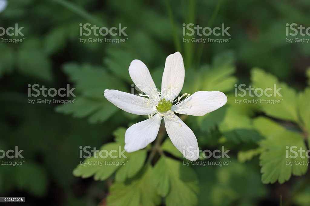 Liverleaf flower stock photo