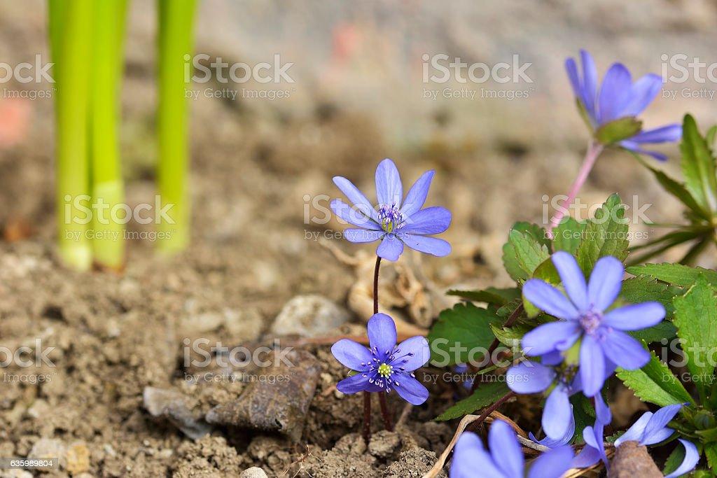 Liverleaf (Anemone transsilvanica) stock photo