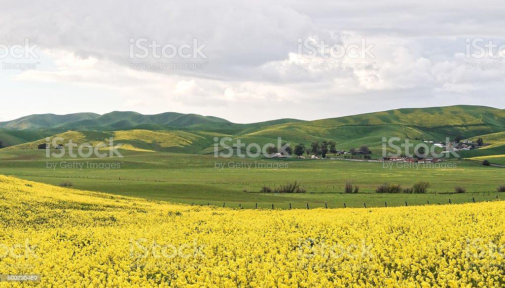 Livermore Wild Mustard in Bloom stock photo