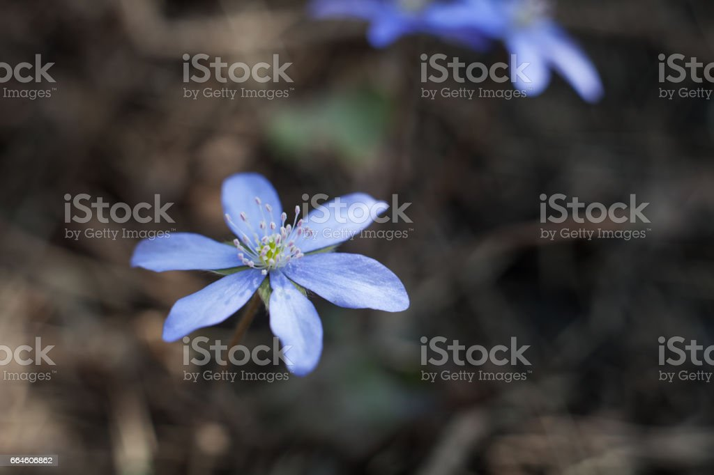 Liverwort, rare blue flower blooming in the forest. stock photo