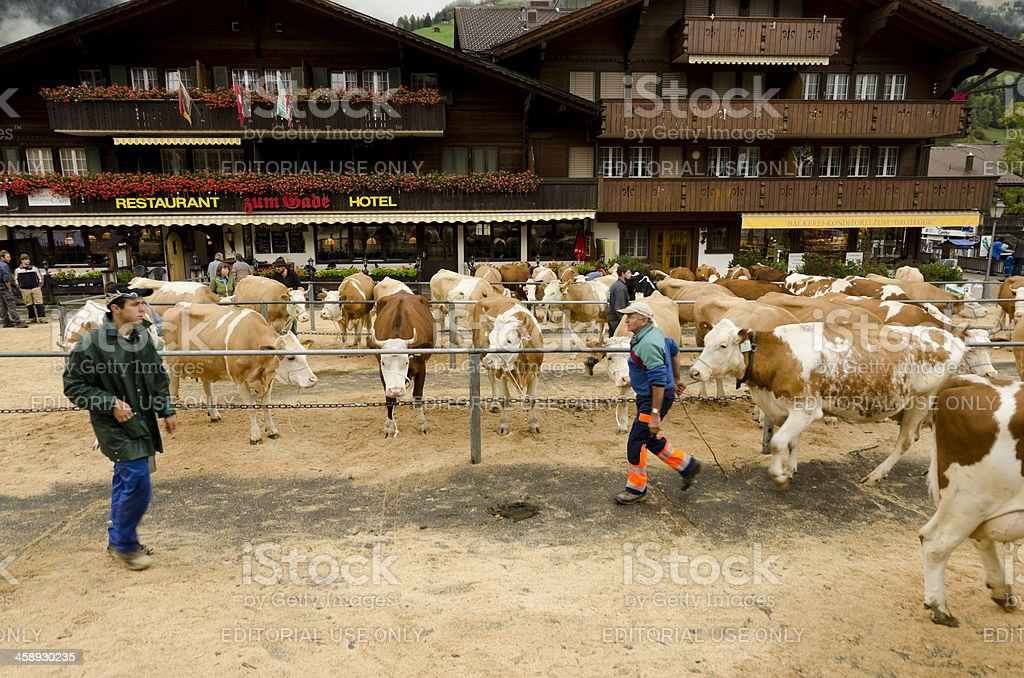 Livestock and cows in Lenk town square Switzerland royalty-free stock photo