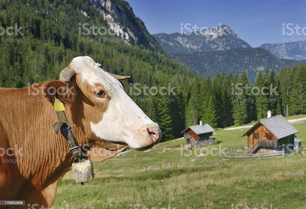 Livestock Cow, Alpine Pasture, Austria, Europe (XXXL) royalty-free stock photo