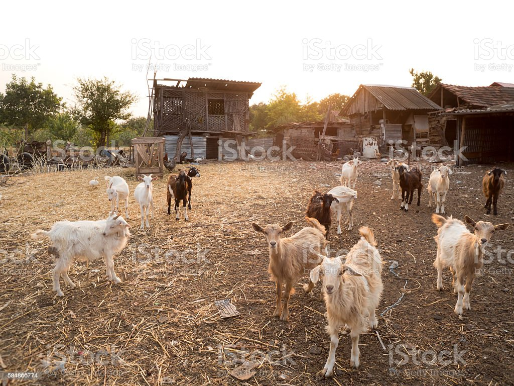 Livestock goats in Romania at the countryside. stock photo