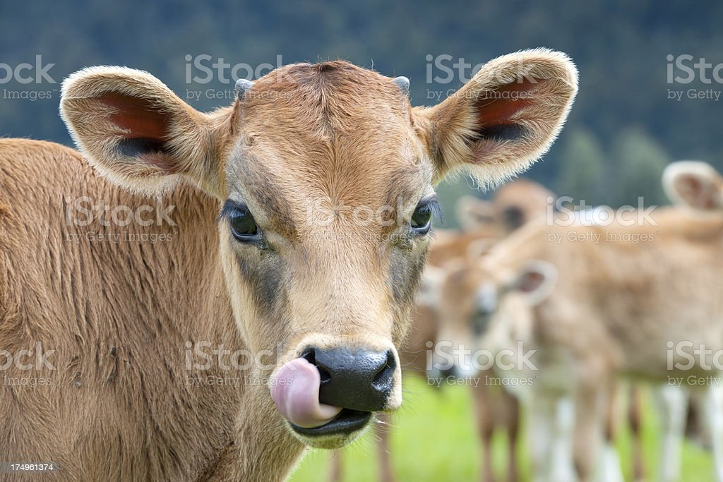 Livestock, Group of Cow Calves, New Zealand (XXXL) royalty-free stock photo