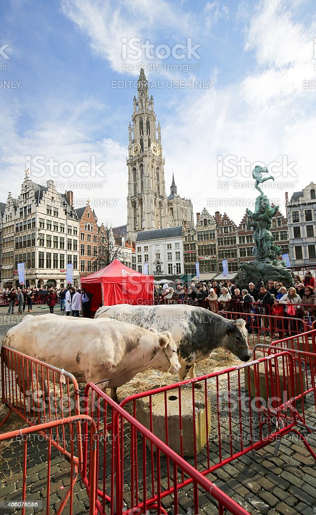 Livestock in front of the Cathedral of Antwerp, Belgium stock photo