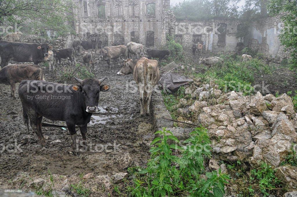 Livestock in Karabakh stock photo