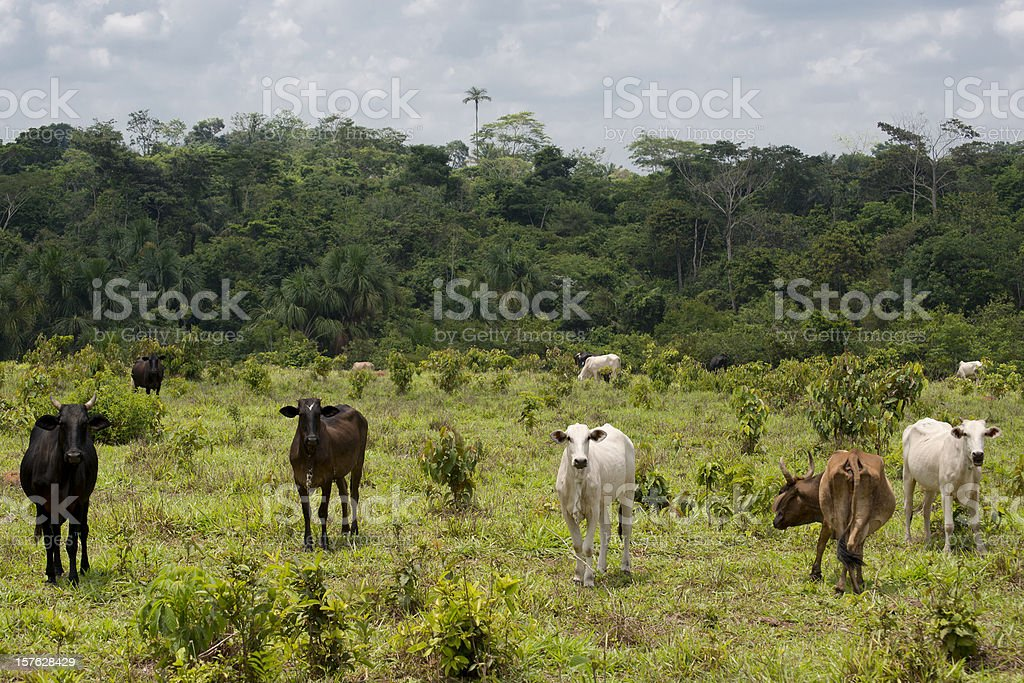 Livestock in the Brazilian Amazon stock photo