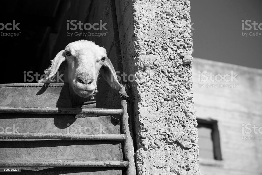 Livestock in West Bank village of Yanoun, Palestine stock photo