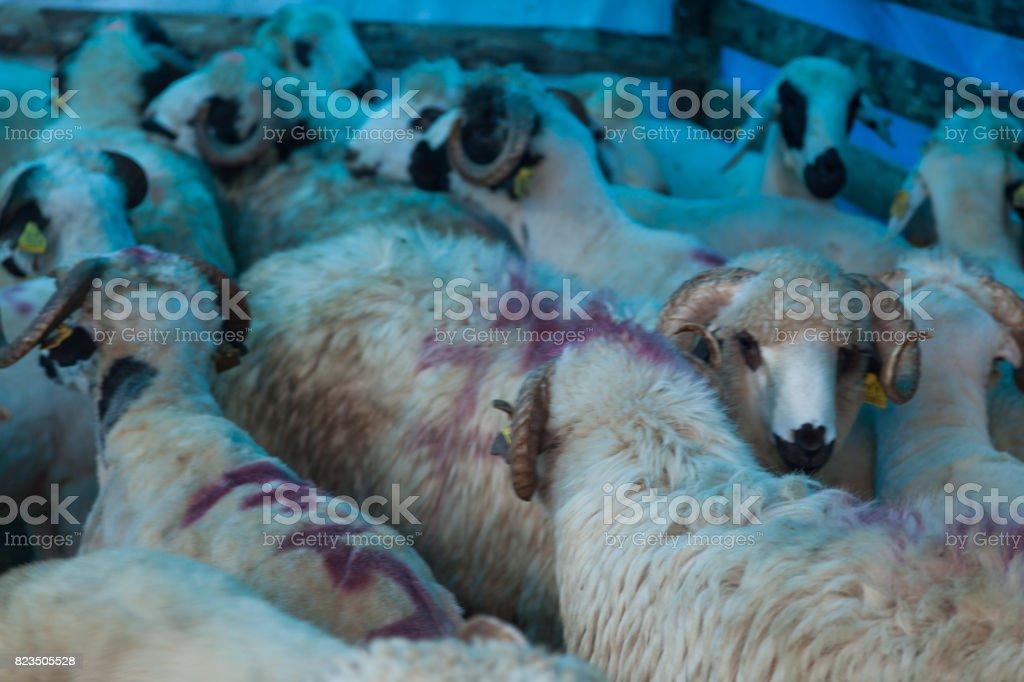 Livestock market gets ready for Eid al-Adha stock photo
