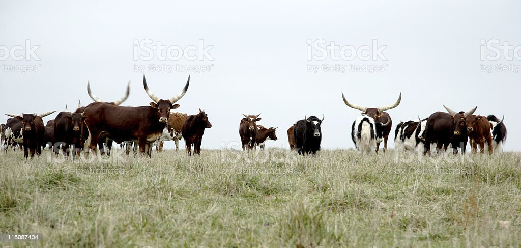 livestock scenes - hilltop herd stock photo