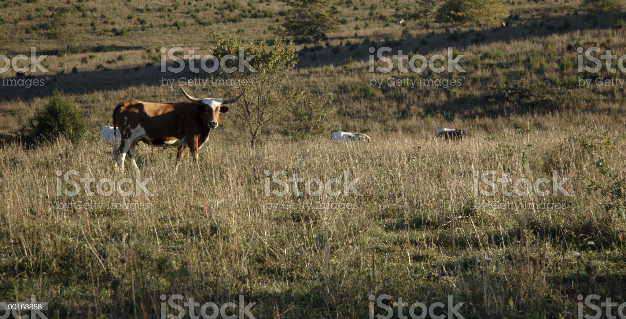 livestock scenes - long distance longhorn royalty-free stock photo