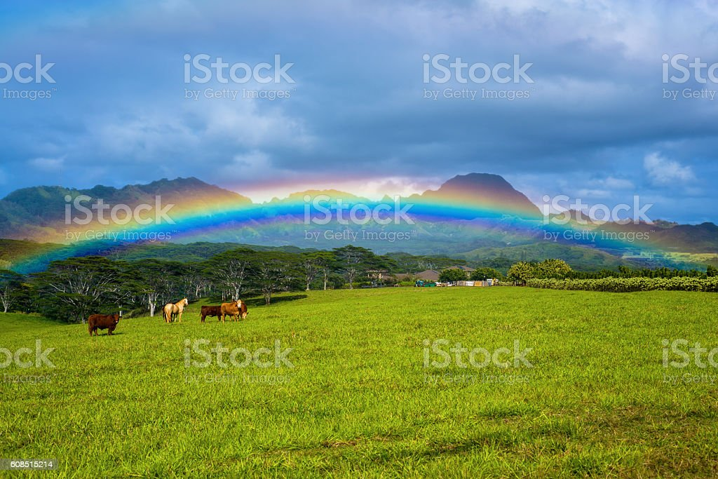 livestock under a rainbow, kauai, hawaii stock photo