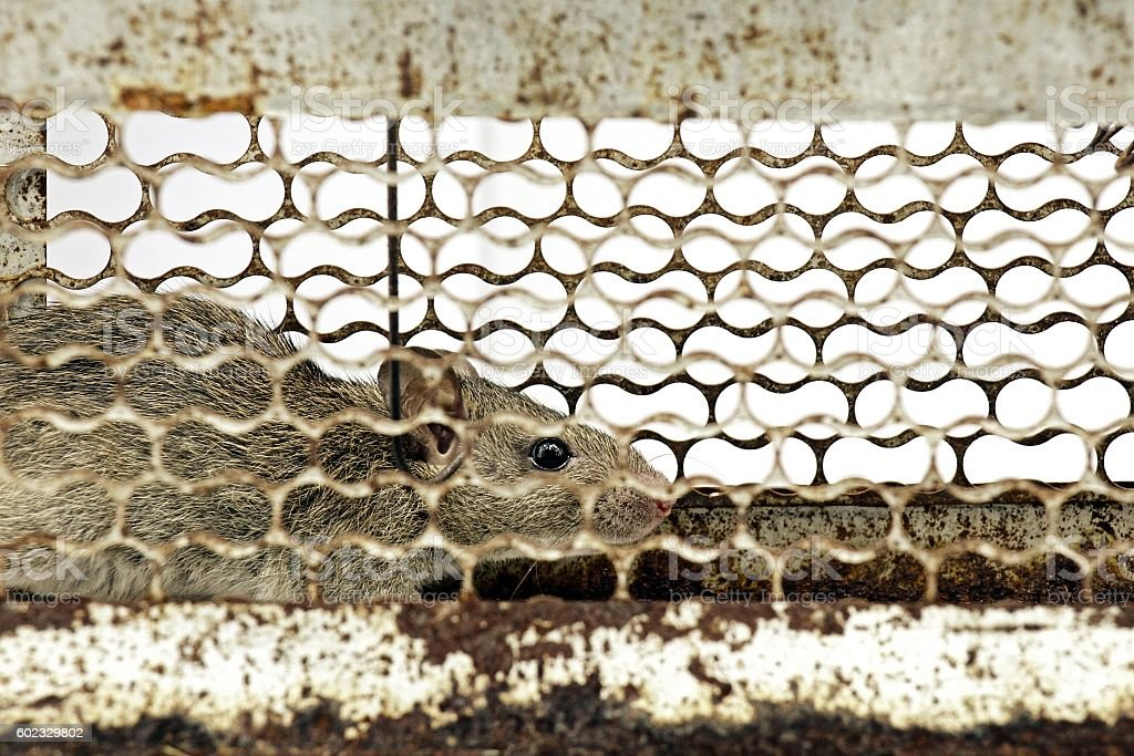 Living catches mouse, Rat cage. stock photo