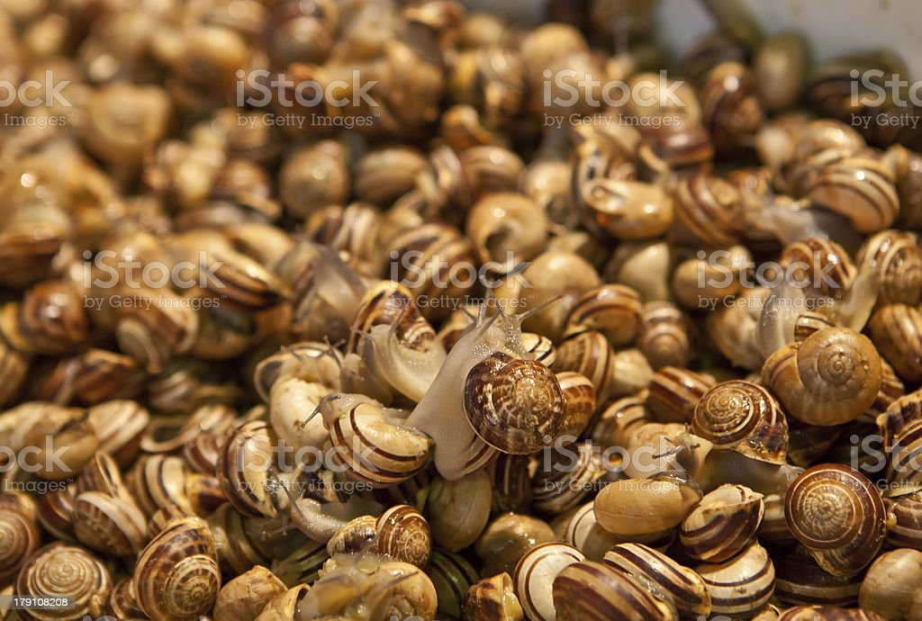 living edible snails for sale stock photo