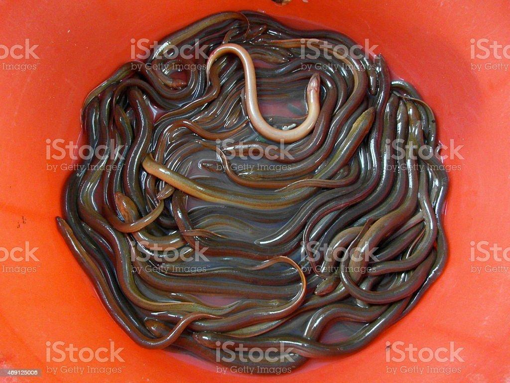 living eels in bucket stock photo