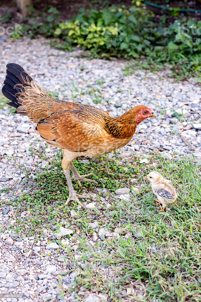 living hen chick rearing in the natural stock photo